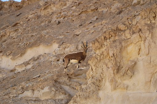 Desert, Antelope, Nature, South, Israel