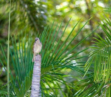 Figbird, Sphecotheres Vieilloti, Townsville Region