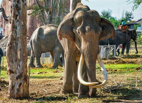 Elephant, Old, Tusks, Surin, Festival, Thailand