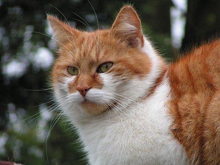 Cat, Red Tomcat, Furry, Watch, Pet