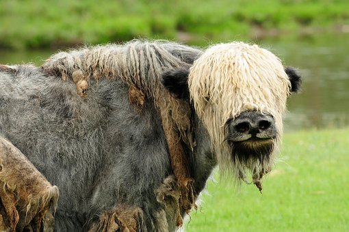 Mongolia, Yak, Animal, Wild