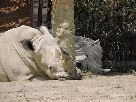 Rhino, Animals, Nature, Wild, Horn, Safari, Animal