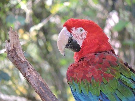 Parrot, Macaw, Ave, Bird, Tropical Bird, Animal, Nature