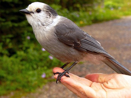 Bird, Meisenhäher, Whisky-jack, Perisoreus Canadensis