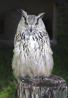 Owl, Long Eared Owl, Raptor, Bird Of Prey, Asio Otus