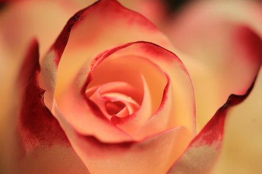 Rose, Orange Rose, Blossom, Bloom, Flower, Nature