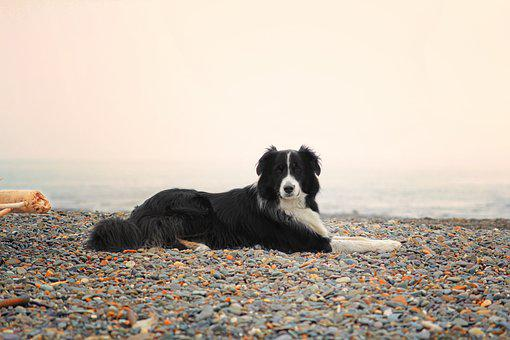 Dog, Collie, Aussie, Autralian Shephard, Border Collie