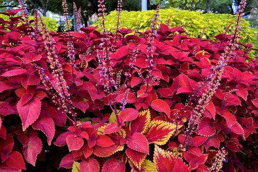 Red Coleus Plants, Garden, Botany, Life, Coleus, Red