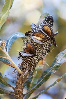 Banksia, Banksia Nut, Nature, Wood, Bush, Australian