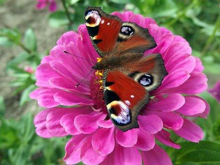 Peacock, Butterfly, Babočkovití, Butterfly Wings