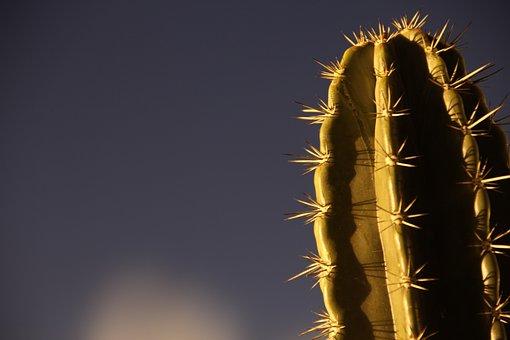 Desert Plant, Thorns, Nature, Cactus, Desert