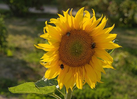 Lego, Sunflower, Bloom, Macrophoto, Insects