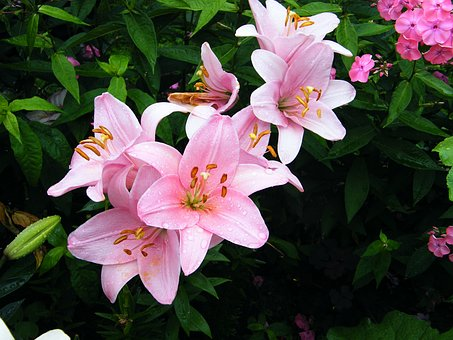 Lily, Pink, Flower, Day Lily, Nature, Garden Plant