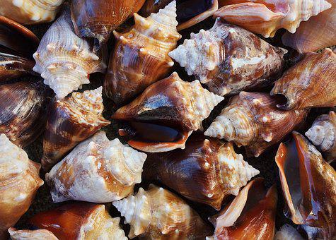 Shells, Conch, Sea, Seashell, Ocean, Mollusk