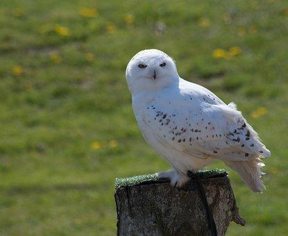 Bird, Snowy Owl, Owl
