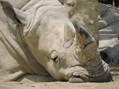 Rhino, Animals, Nature, Safari, Horn, Animal World
