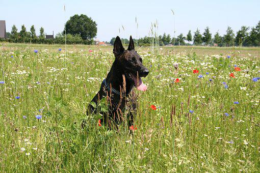 Dutch Shepherd, Dog, Shepherd Dog, Pet, Shepherd