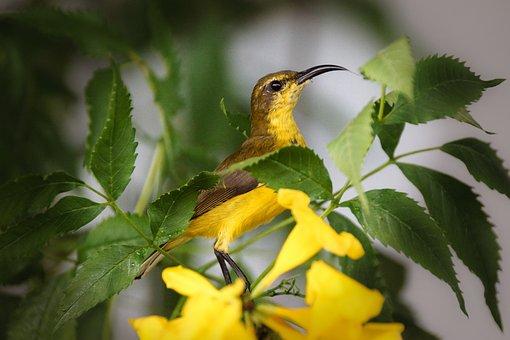 Sunbird, Yellow Bird, Feather, Small, Branch