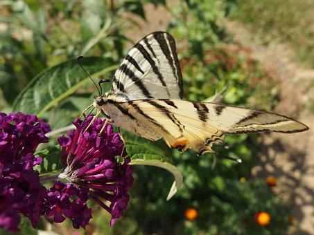 Butterfly Bush, Swallowtail Fruit, Flying Insects, Bush