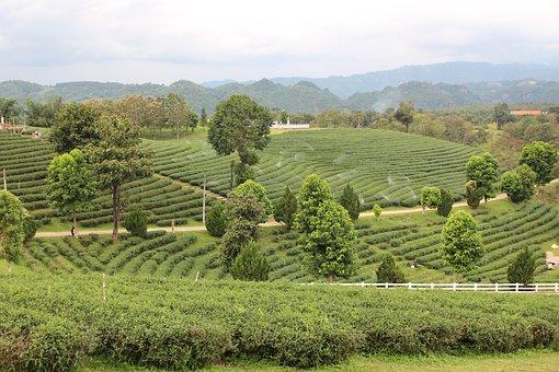 Tea Plantations, Tea, The North, Tourism, Thailand