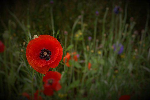 Wild Poppies, Flowers, Plant, Meadow, Natural, Red