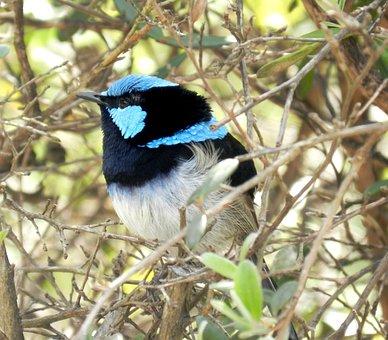 Blue Wren, Australian Birds, Wrens, Wildlife, Nature
