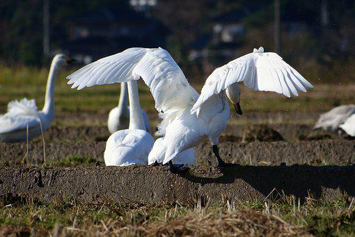 Animal, Rural, Yamada's Rice Fields, Bird, Wild Birds