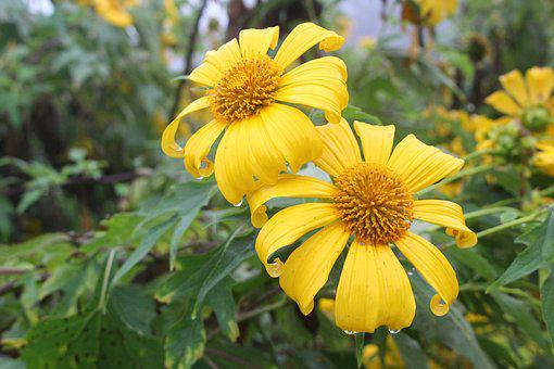 Lotus Tong, Flower, Flowers, Nature, Yellow Flower