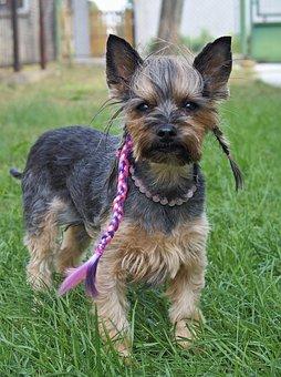 Yorkie, Dog, Fashionable, Nice, Sweet