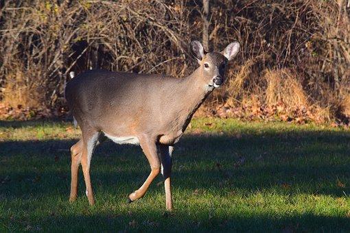 Deer, Looking, Grass, Field, Animal, Mammal, Wildlife