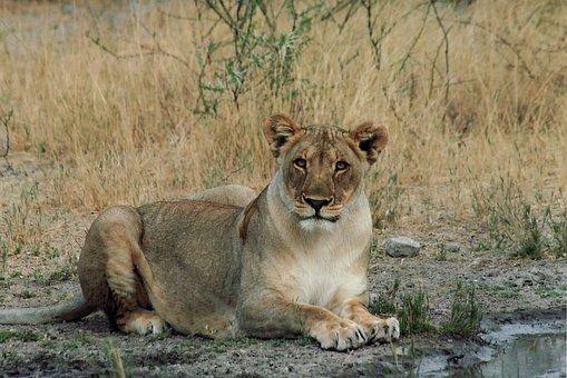 Lioness, Lion, Cat, Big, Animal, Wildlife, Africa