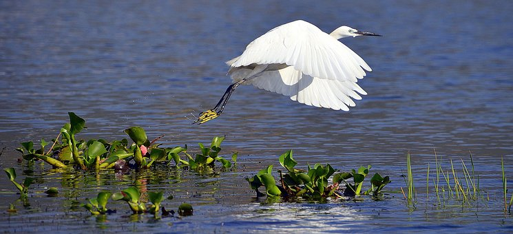 White, Heron, Whooper, Wild, Bird, Wildlife, Egret