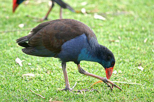 Purple Swamp-hen, Bird, Wildlife, Porphyrio, Hen, Swamp