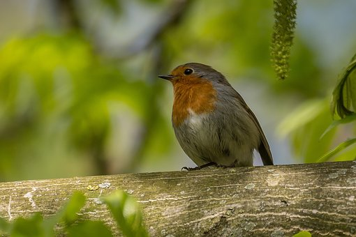 Bird, Songbird, Nature, Birds, Forest, Feather, Garden