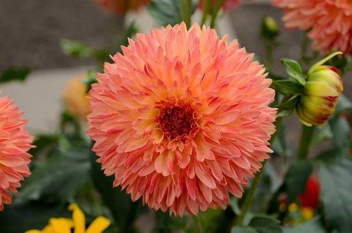Dahlia, Bloom, Dahlia Flower, Dahlia Garden, Garden