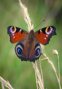 Butterfly, Peacock, Insect, Summer, Red, Eye, Green