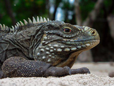 Animals, Iguana, Cuba, Cayo Blanco, Lizard, Lizards