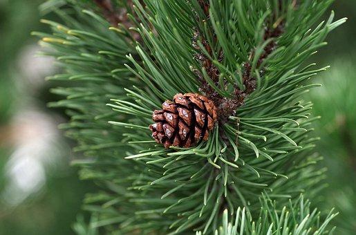 Pine, Pine Cone, Essential, Oil, Coniferous, Needles