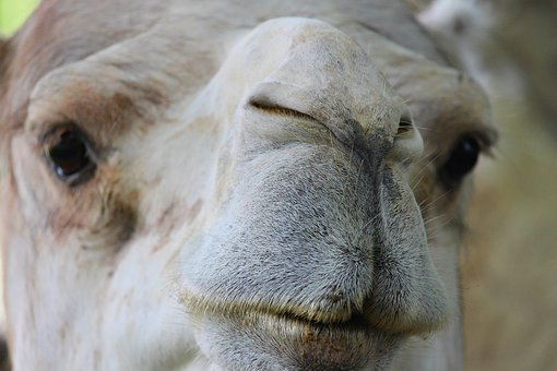Dromedary, Camel, Nose, Lips, Detail, Curious, Foot