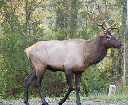 Elk, Deer, Stag, Wildlife, Animal, Truck, Sign