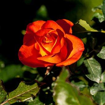 Roses, Orange Red, Flowers Bloom, Flower, Natural