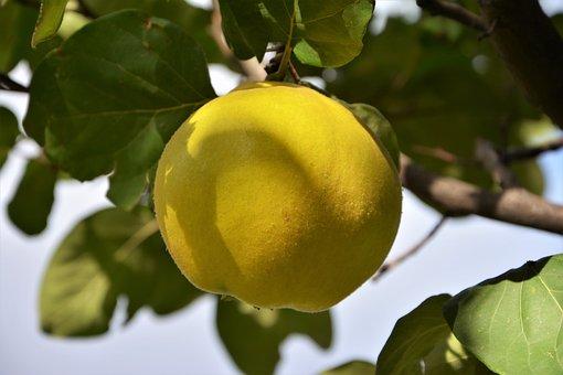 Fruit, Quince, Fruits, Nature, Healthy, Fruit Garden