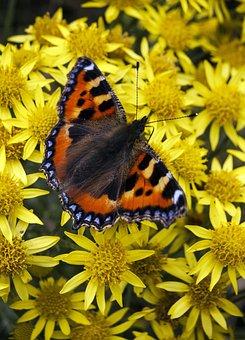 Butterfly, Tortoiseshell, Orange, Yellow, Insect