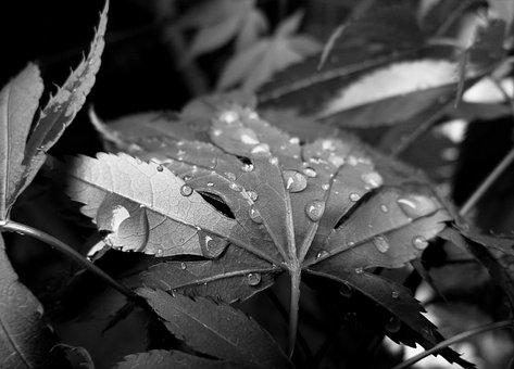 Raindrops, Rain, Droplets, Leaves, Droplet, Weather