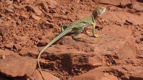 Lizard, Arizona, Sedona, Green, Reptile, Nature, Animal