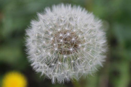 Dandelion, White, Summer Flowers, Nature, Furry, Macro