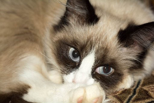 Cat, Animal, Cat Eye, Pet, Muzzle Cat, Fluffy Cat
