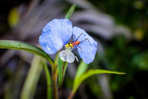 Commelina Erecta, Narrow Leaf Day Flower, Flower