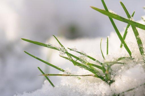 Grasses, Snow, Winterimpression, Grass, Nature, Winter