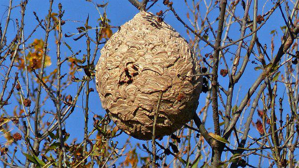 Insects, Nest, Nature, Asian Hornet, Invasive Species